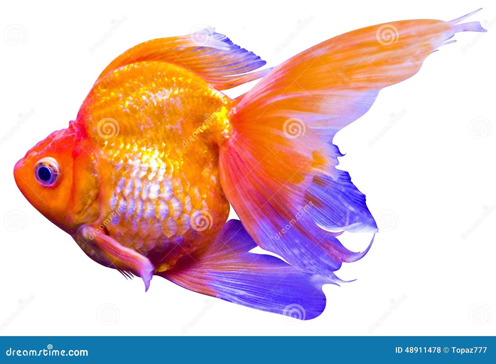 Carpa del pez de colores foto de archivo. Imagen de hermoso - 48911478