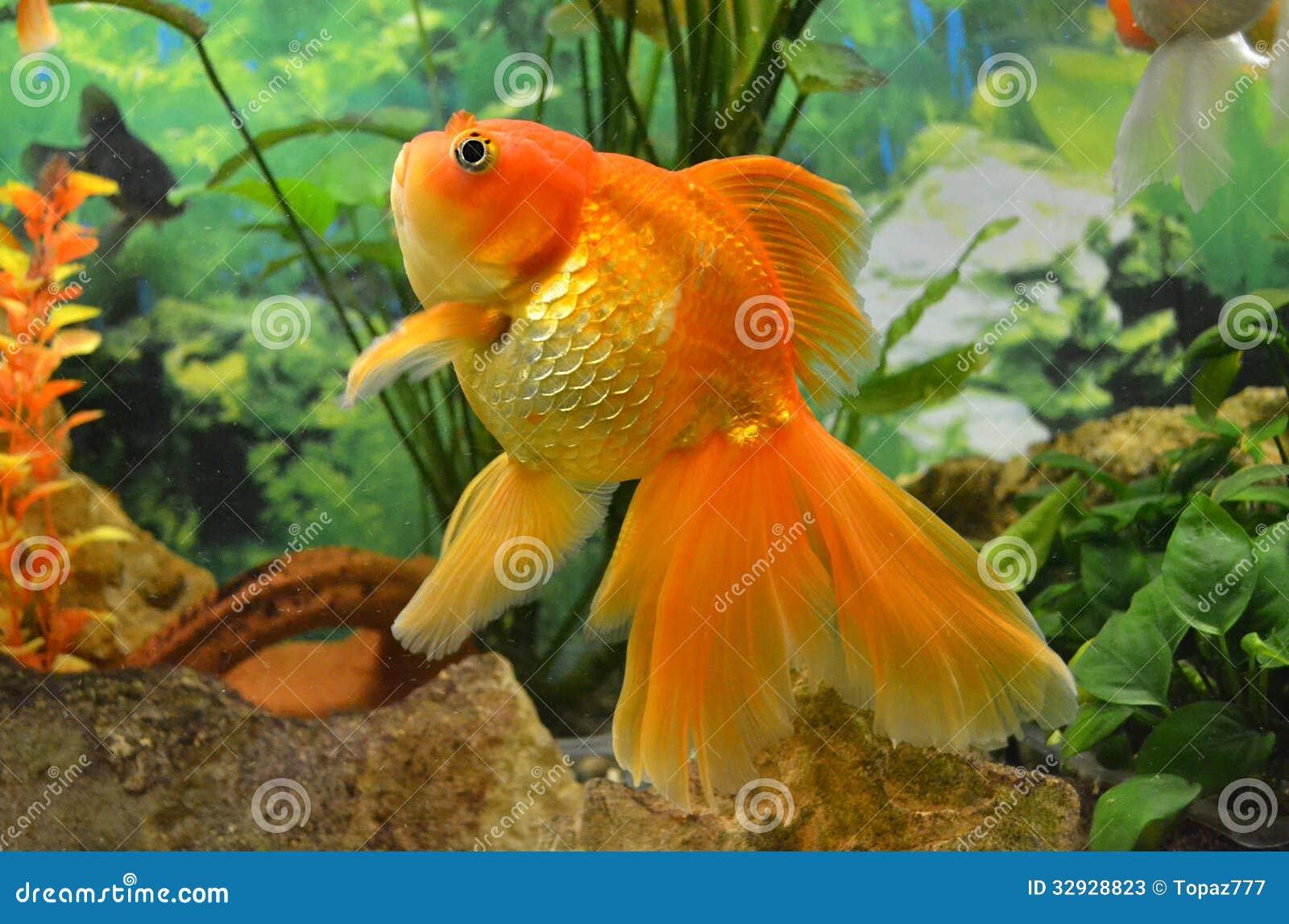 Carpa del pez de colores del acuario imagen de archivo for Carpas para acuario