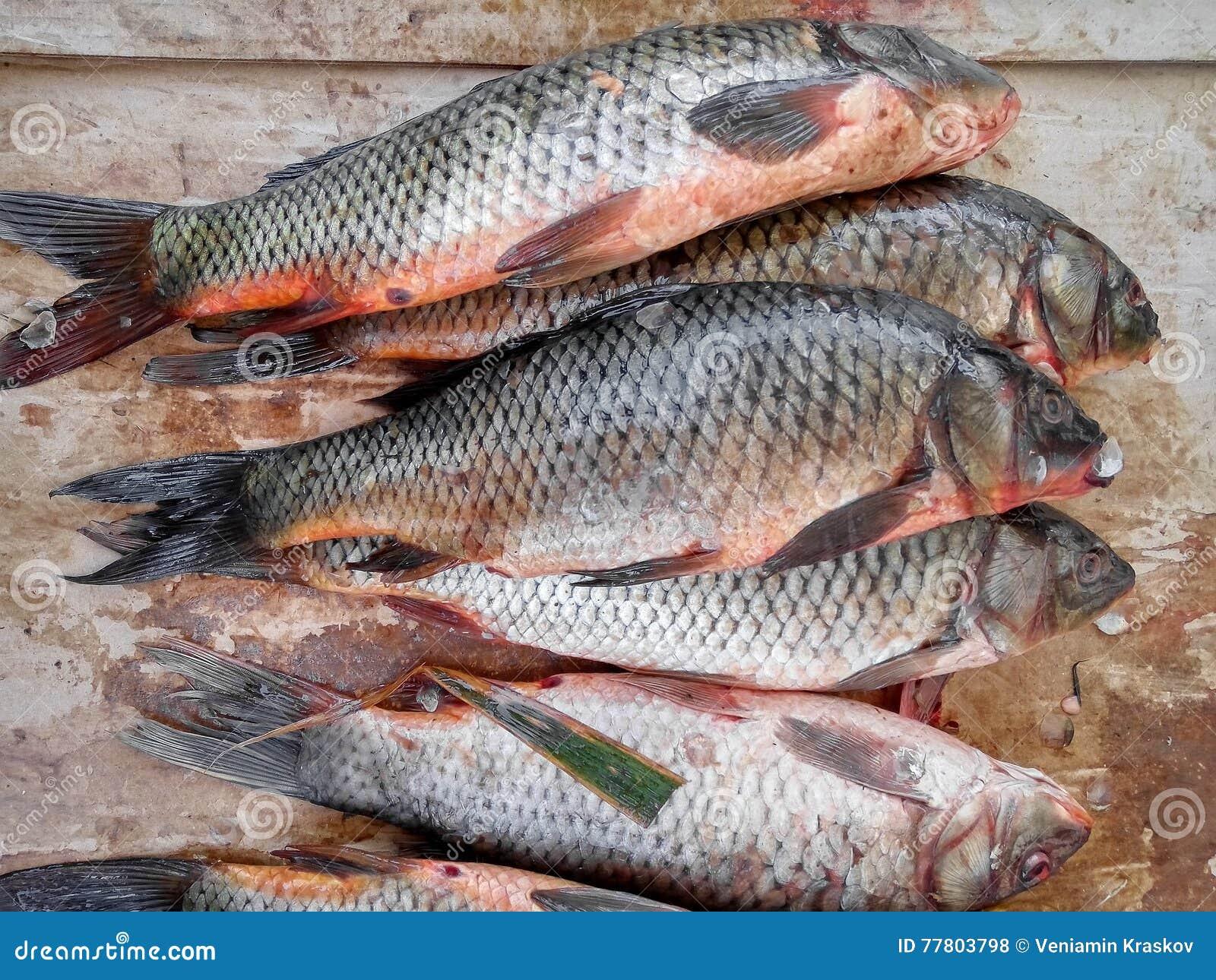 Carpa del r o de los pescados foto de archivo imagen for Carpa de rio
