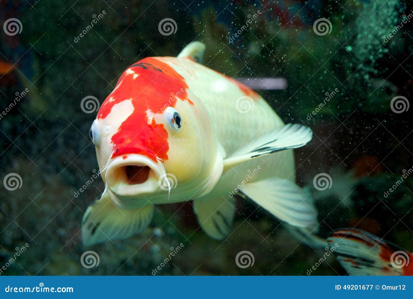 Carpa en el acuario casero imagen de archivo imagen de for Carpas para acuario