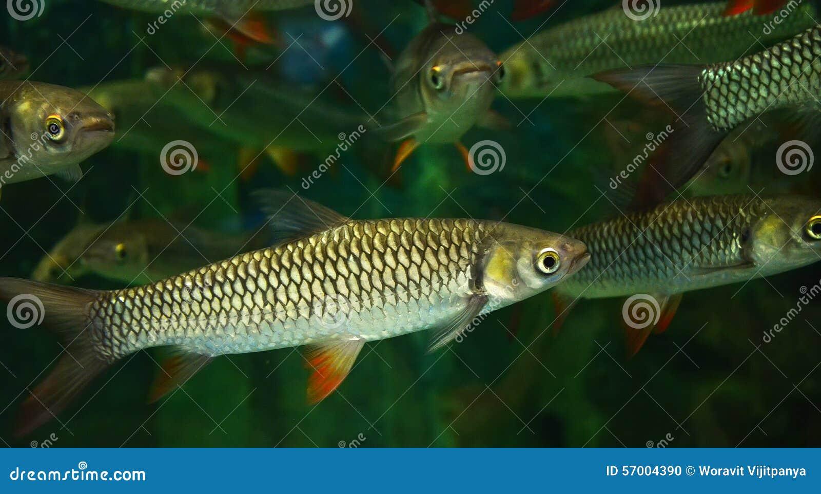 Carpa enojada, pescado del sultán