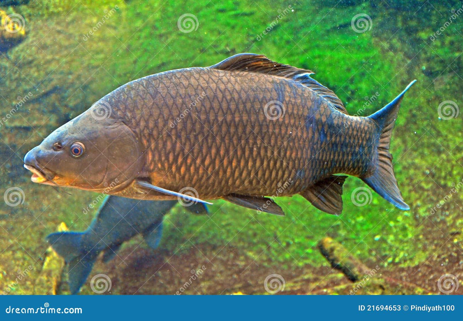 Carpa giapponese immagine stock immagine di swimming for Carpa giapponese prezzo