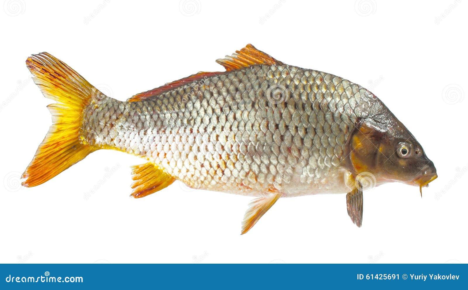 Carpa peixe do rio imagem de stock imagem de closeup for Carpa de rio