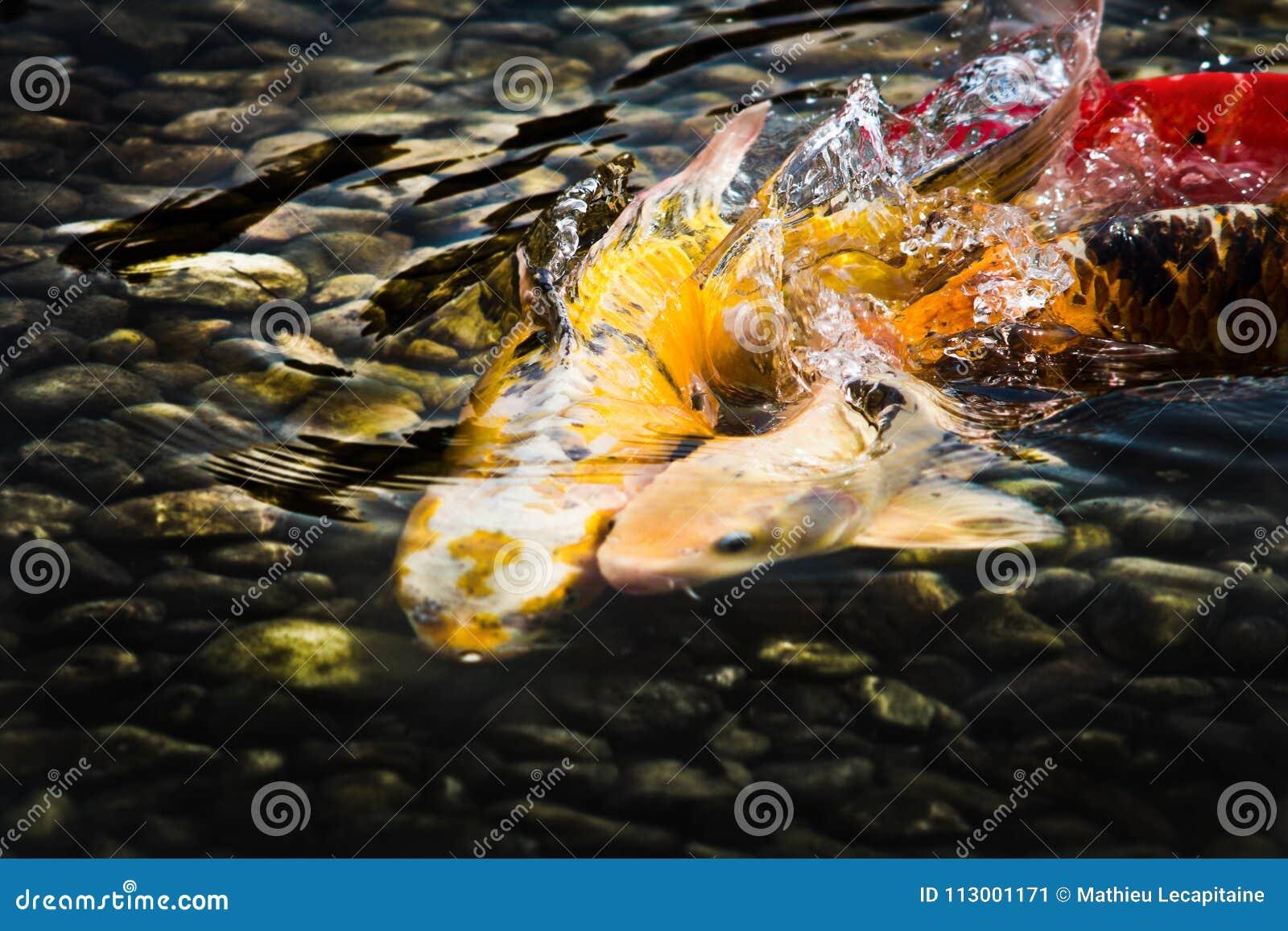 Carpas de Koi, peixes