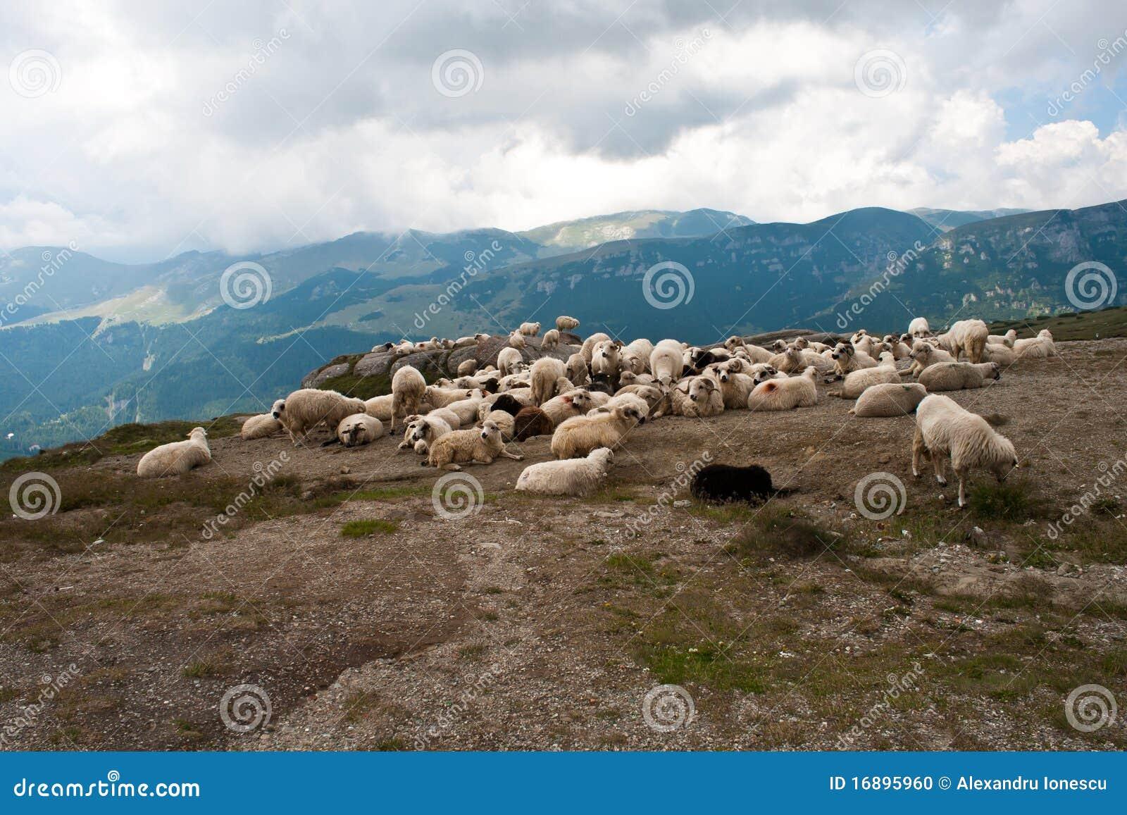 Carpathians绵羊