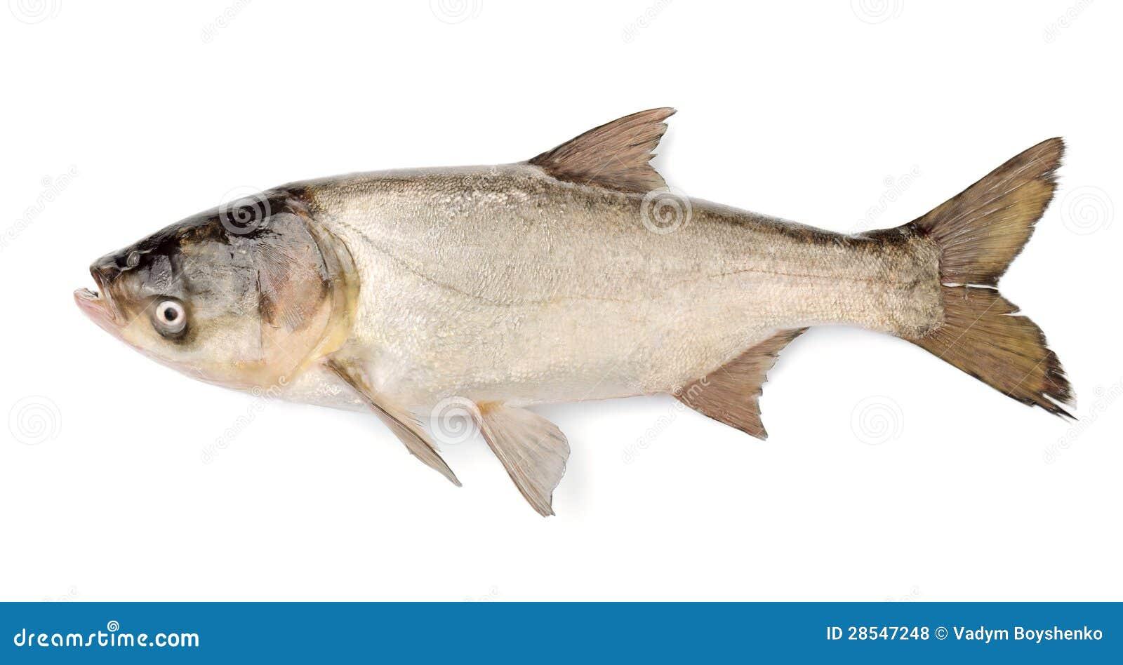 Carpe argent e de poissons hypophthalmichthys molitrix for Poisson carpe