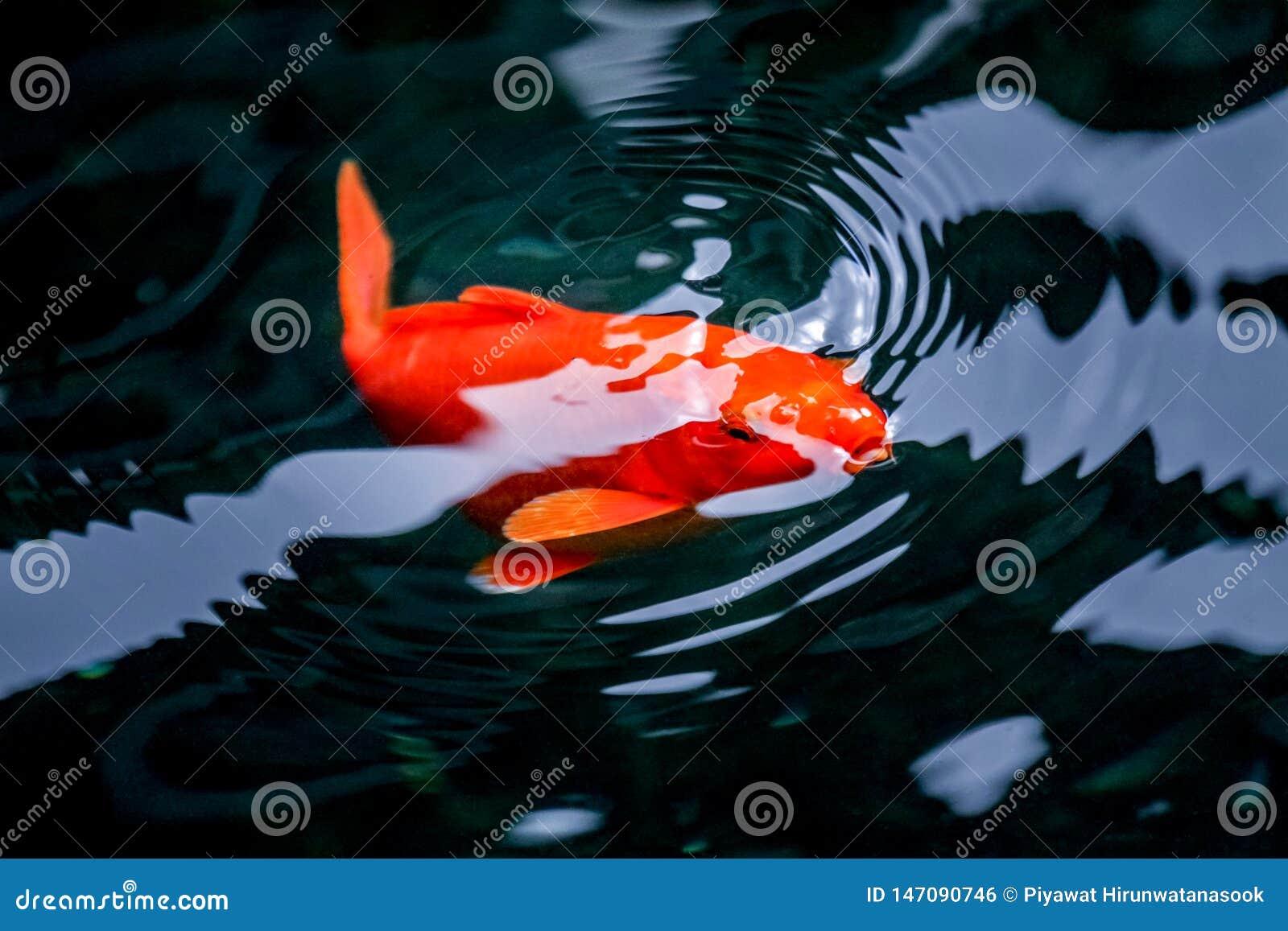 Carpe de fantaisie orange respirant sur la surface de l eau