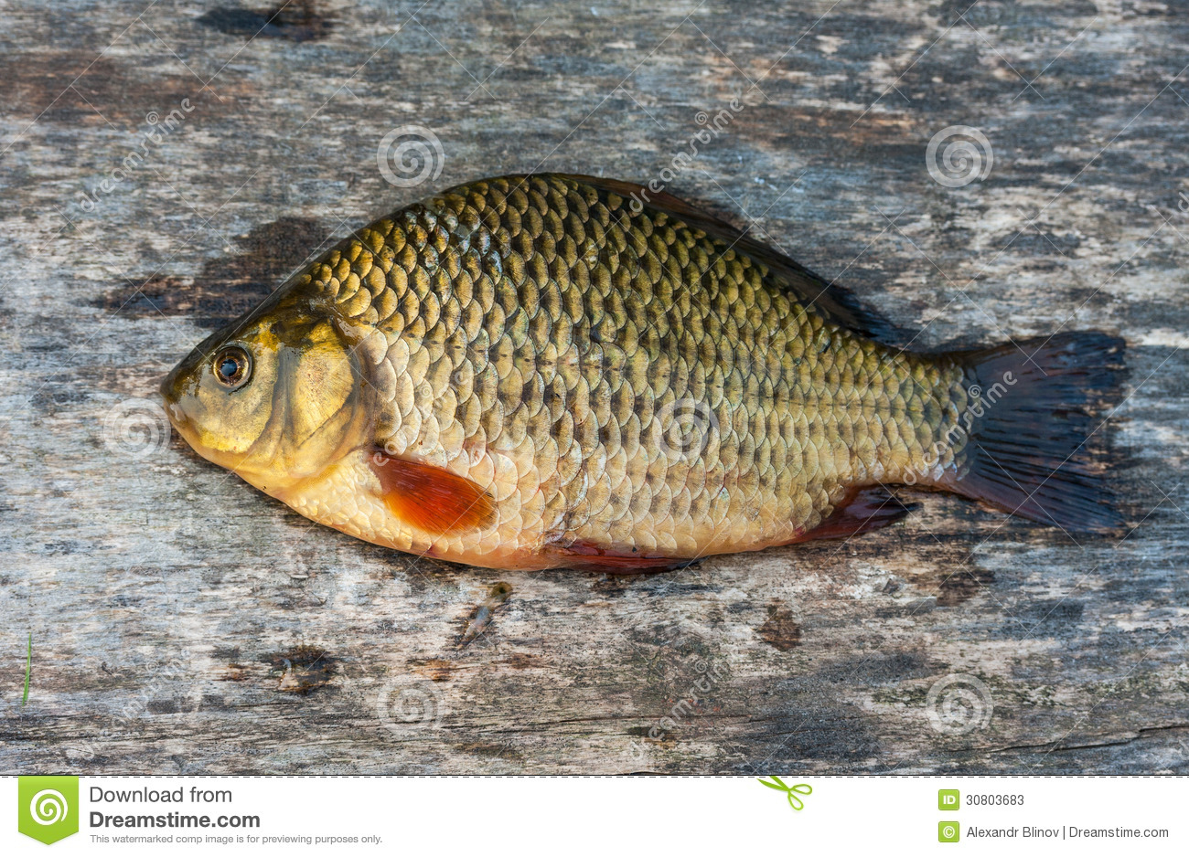 Carpe vivante de poisson d 39 eau douce image stock image for Poisson eau douce