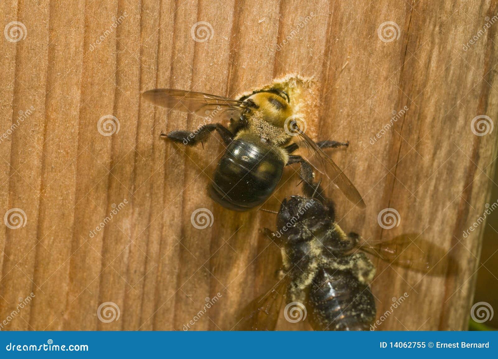 Carpenter Bee female digging nest hole