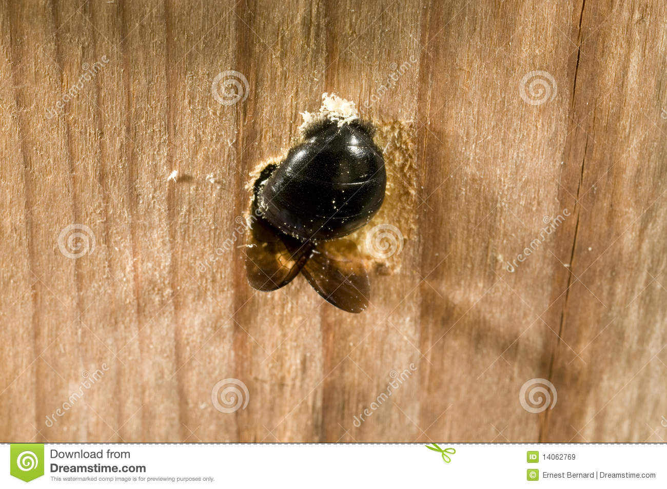 Carpenter Bee Female Digging Nest Hole