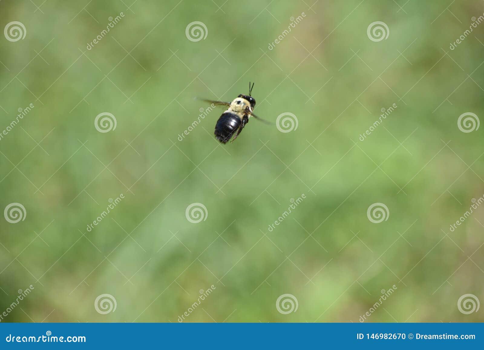 Carpentiere Bee Flying