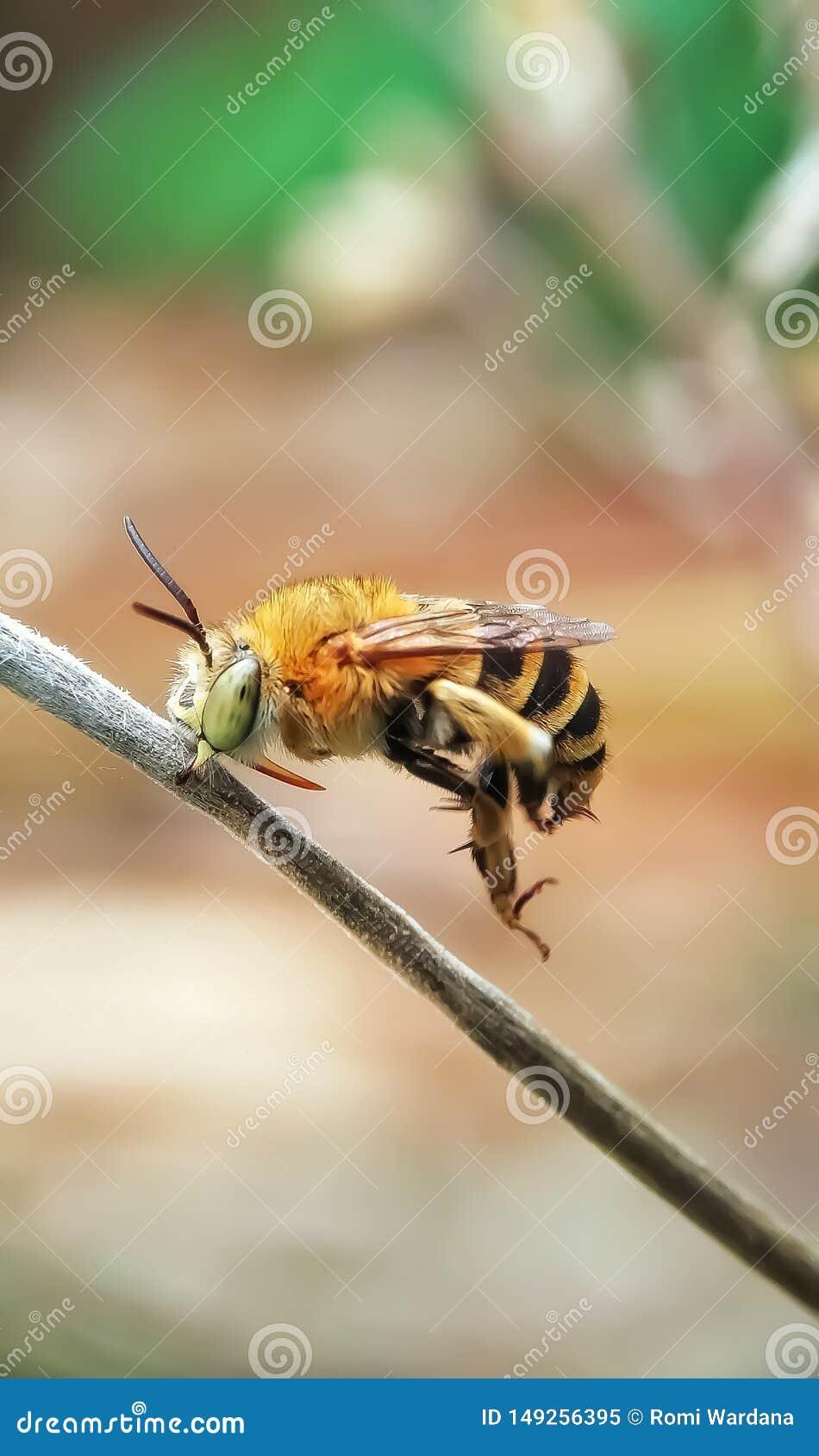 Carpentiere Bee Tempo felice