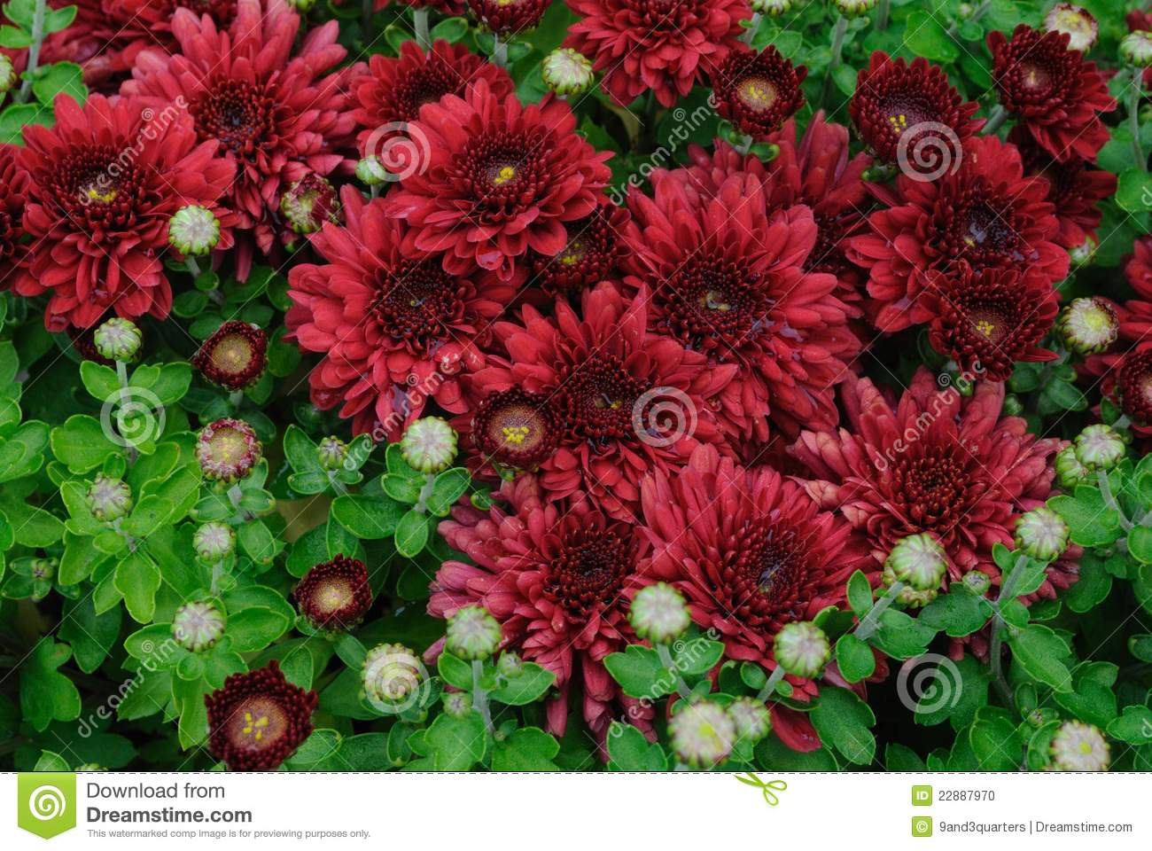 Carpet Of Burgundy Chrysanthemums Stock Photo Image Of