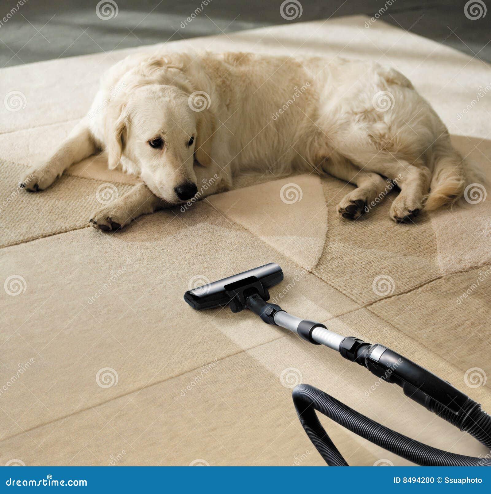 Dog Looks Like A Rug: Carpet Dog Stock Photo