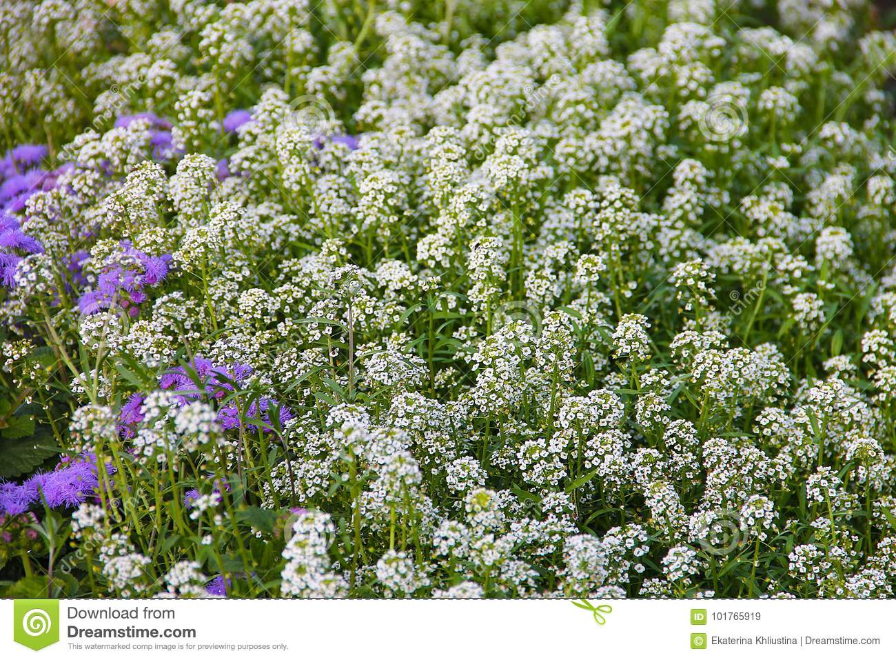 Carpet of small white fragrant flowers alissum bright summer download comp mightylinksfo