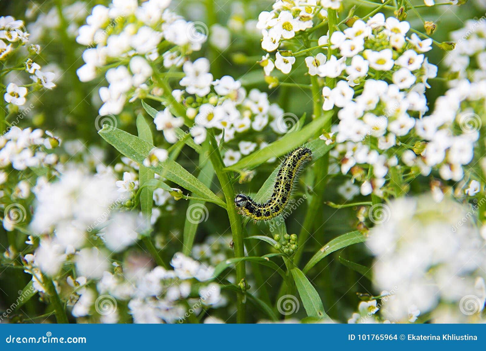 Carpet Of Small White Fragrant Flowers Alissum Bright Summer