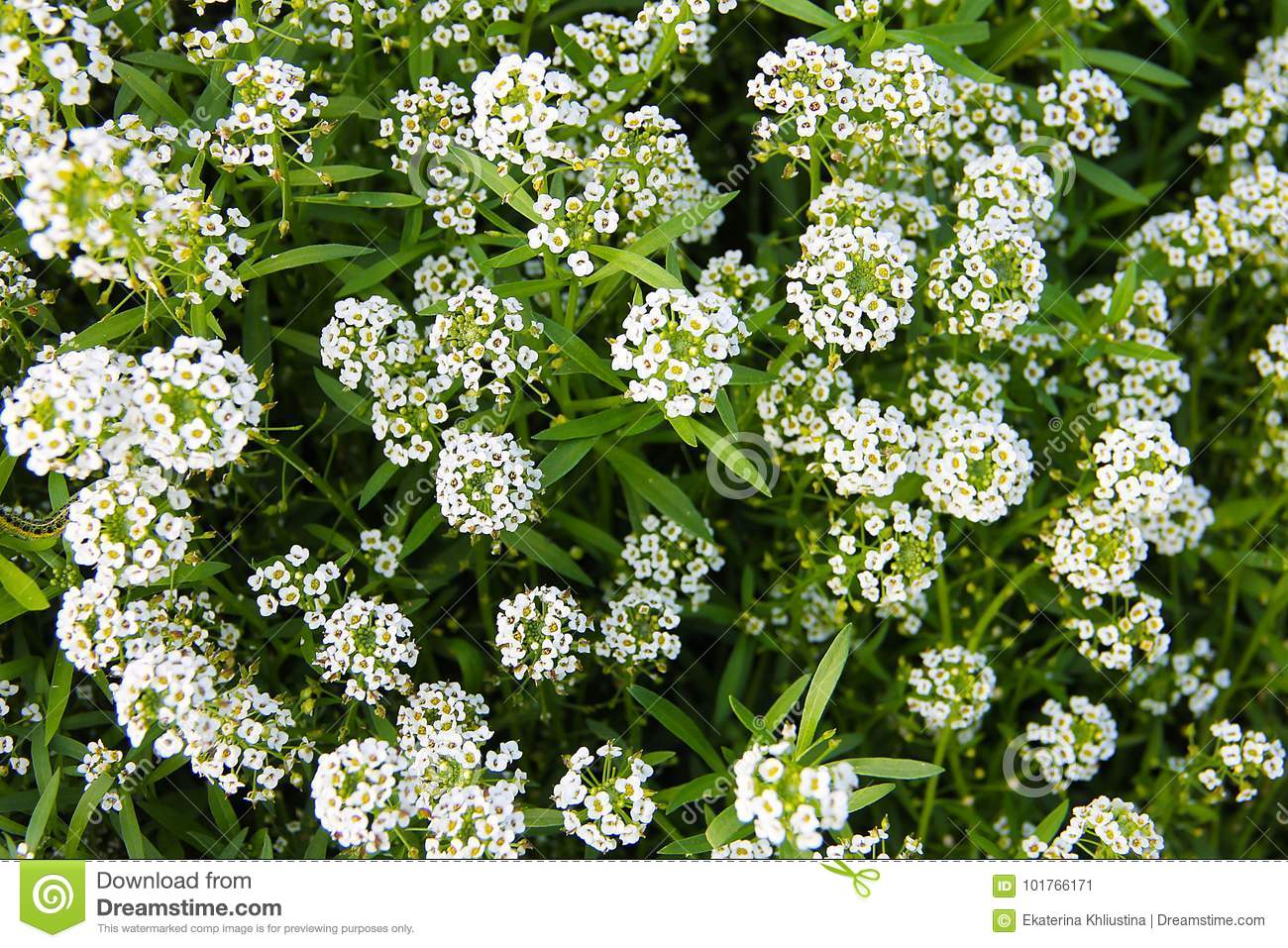 Carpet of small white fragrant flowers alissum stock image carpet of small white fragrant flowers alissum mightylinksfo