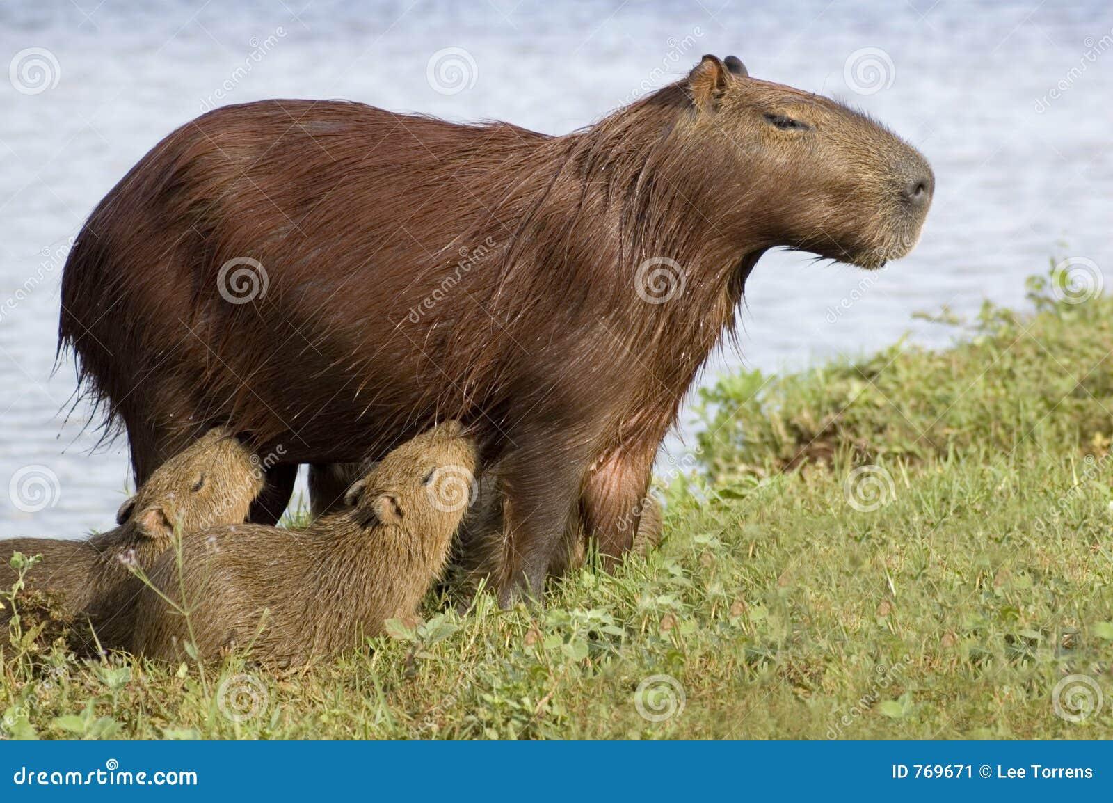 Carpincho (Capibara) che alimenta i suoi giovani