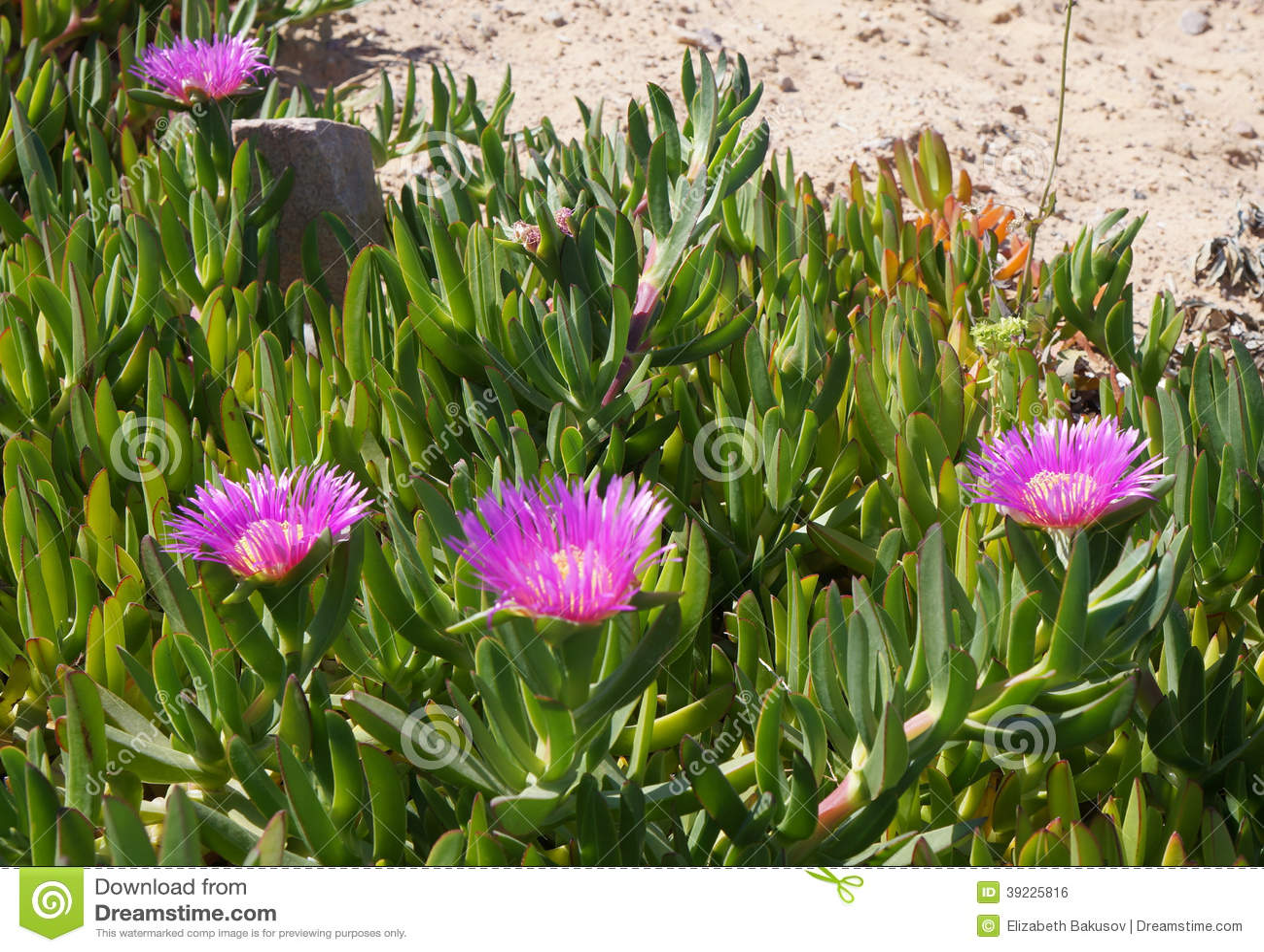 Carpobrotus edulis blossom
