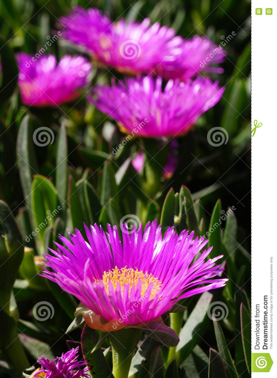 Carpobrotus Succulent Plant With Pink Flowers Stock Image Image Of