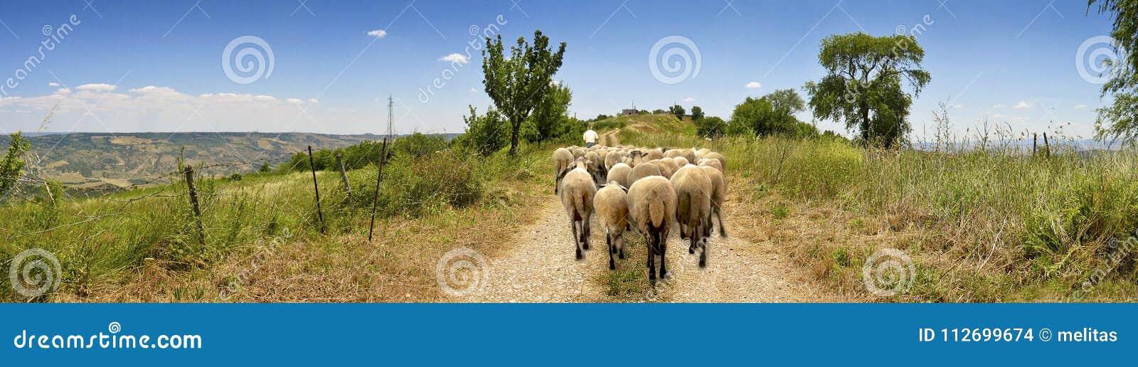 Carretera nacional del paisaje con las ovejas y el pastor