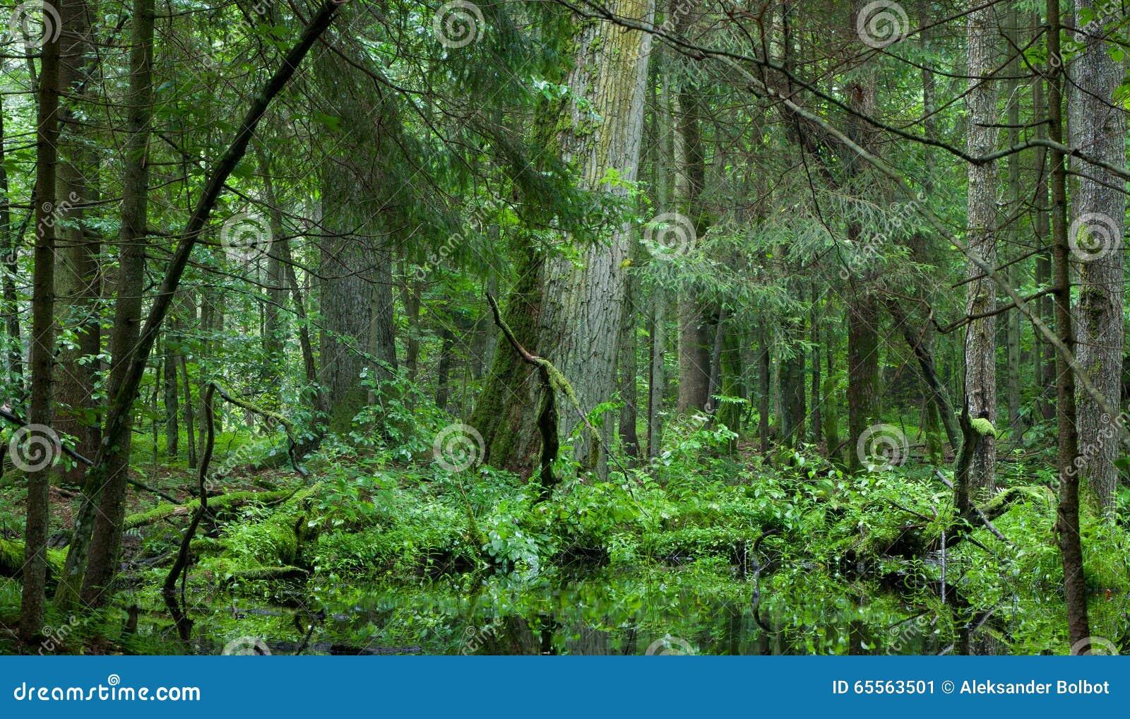 Carrinho Deciduous da floresta de Bialowieza no verão