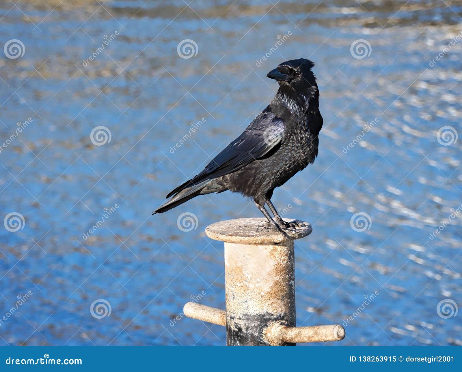 Carrion Crow no Cobb