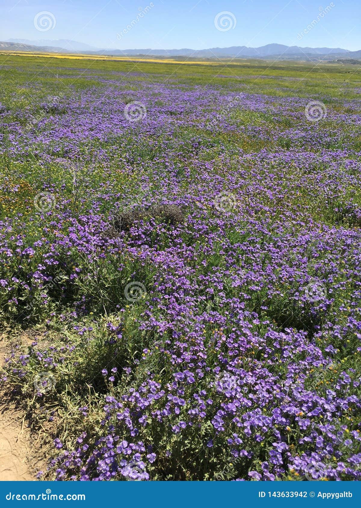 Carrizo równiien Krajowy zabytek Kalifornia, Hwy 58 Sodowanych wiosen Rd Super kwiat, -