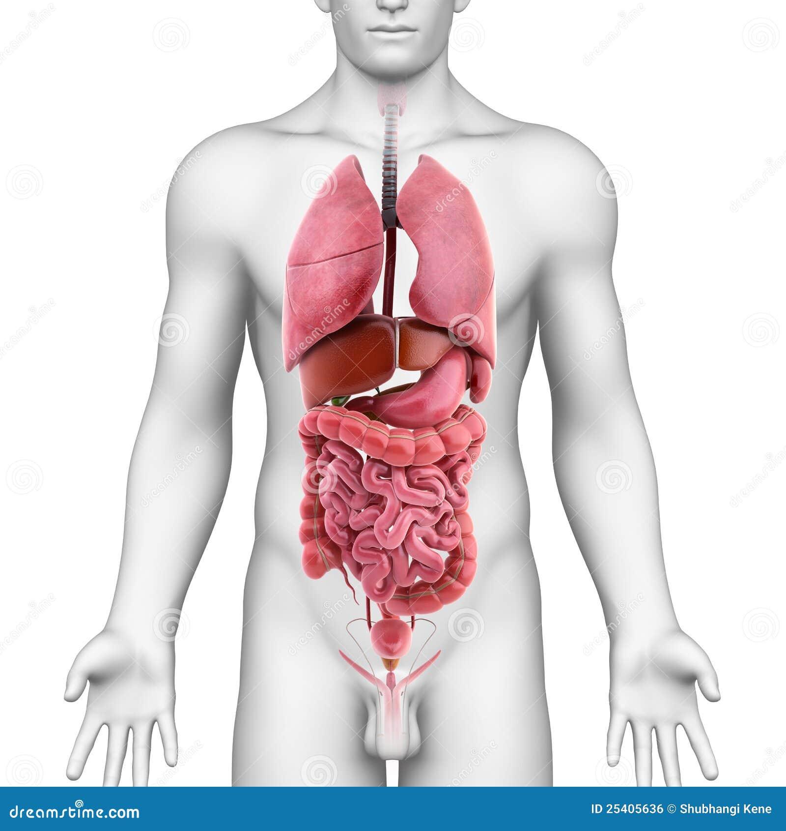 Cuerpo Humano De Los órganos Internos Ilustración del Vector ...