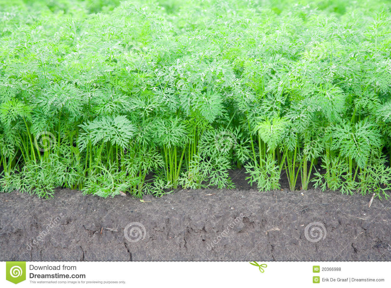 Carrot Field Stock Photo | Getty Images