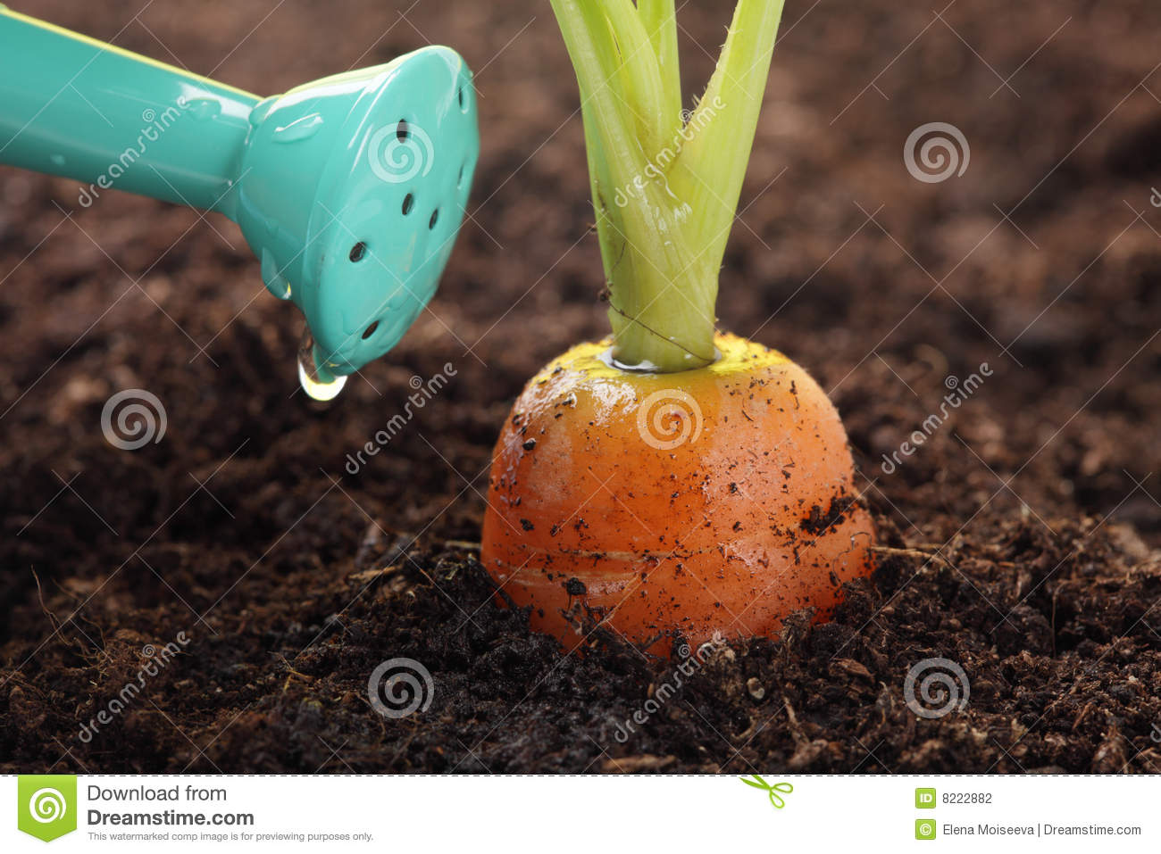 Carrot Growing In The Soil And Watering Can Stock ...