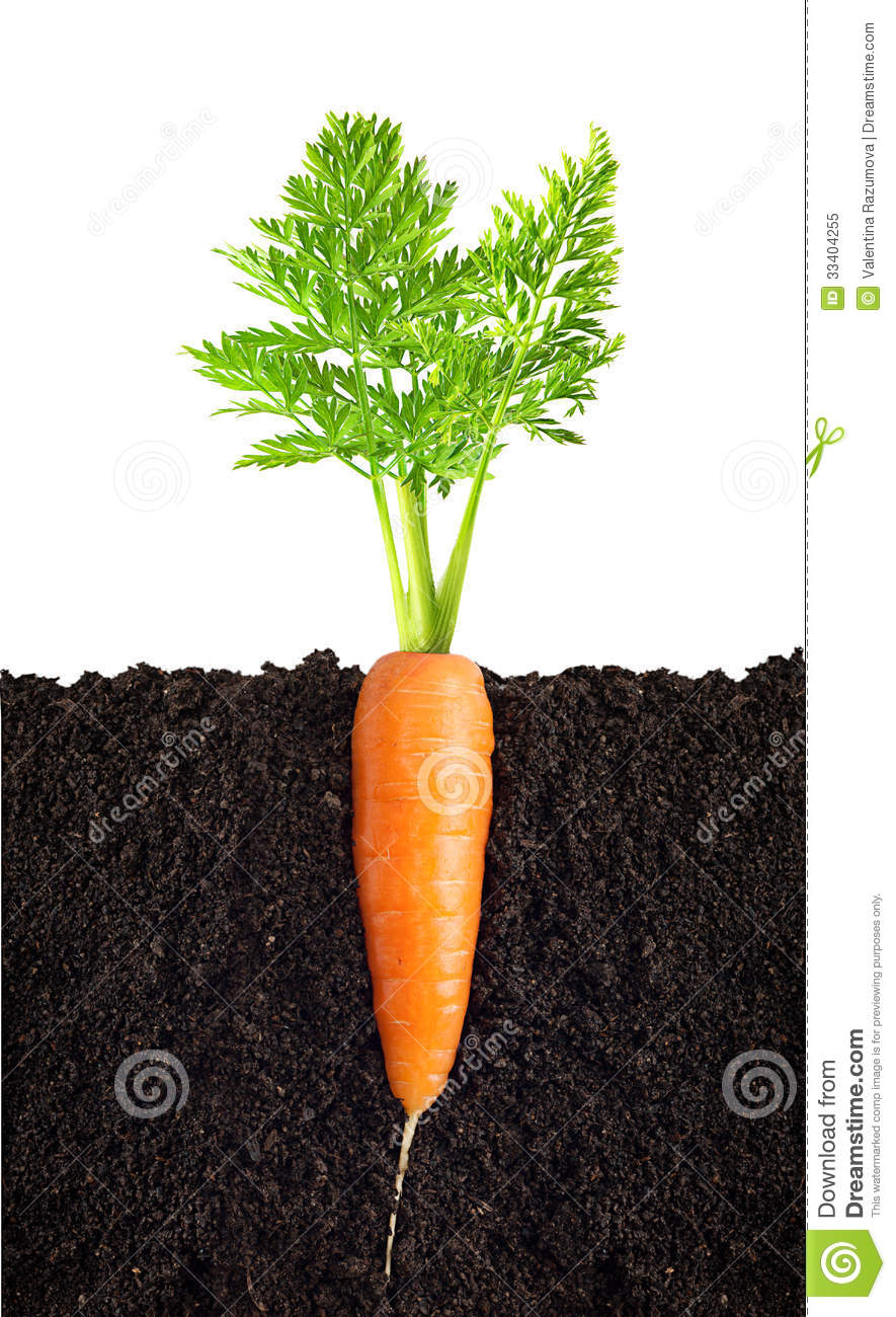 Carrot With Leaves Royalty Free Stock Photo - Image: 33404255
