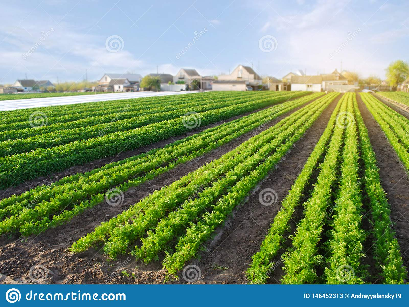 Carrot Plantations Grow In The Field. Vegetable Rows ...