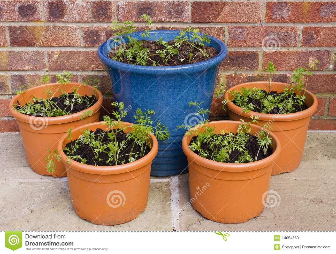 Carrot Seedlings In Pots Stock Photo Image 14054660