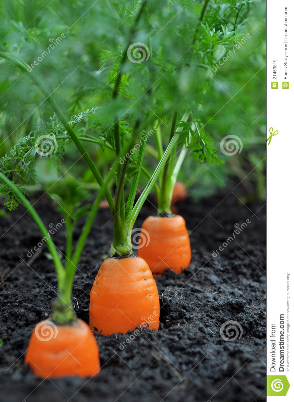 Carrots Royalty Free Stock Images Image 21463819