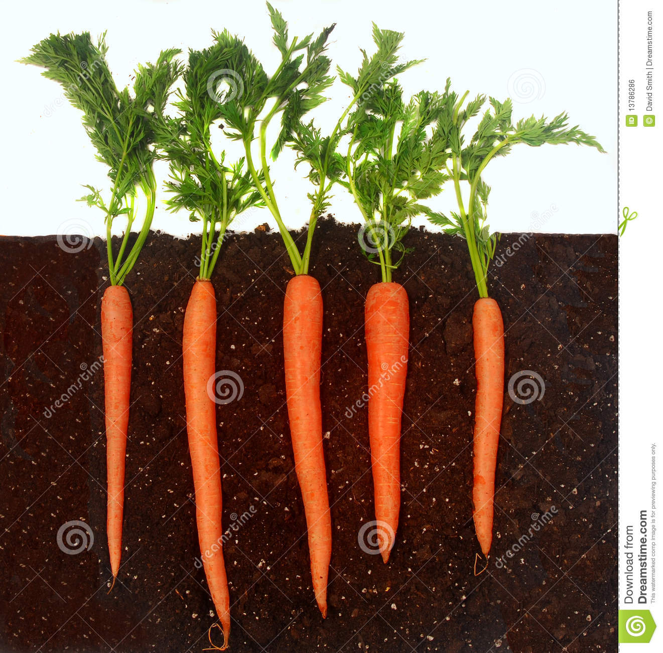 Carrots Growing In Soil Royalty Free Stock Image Image 13786286