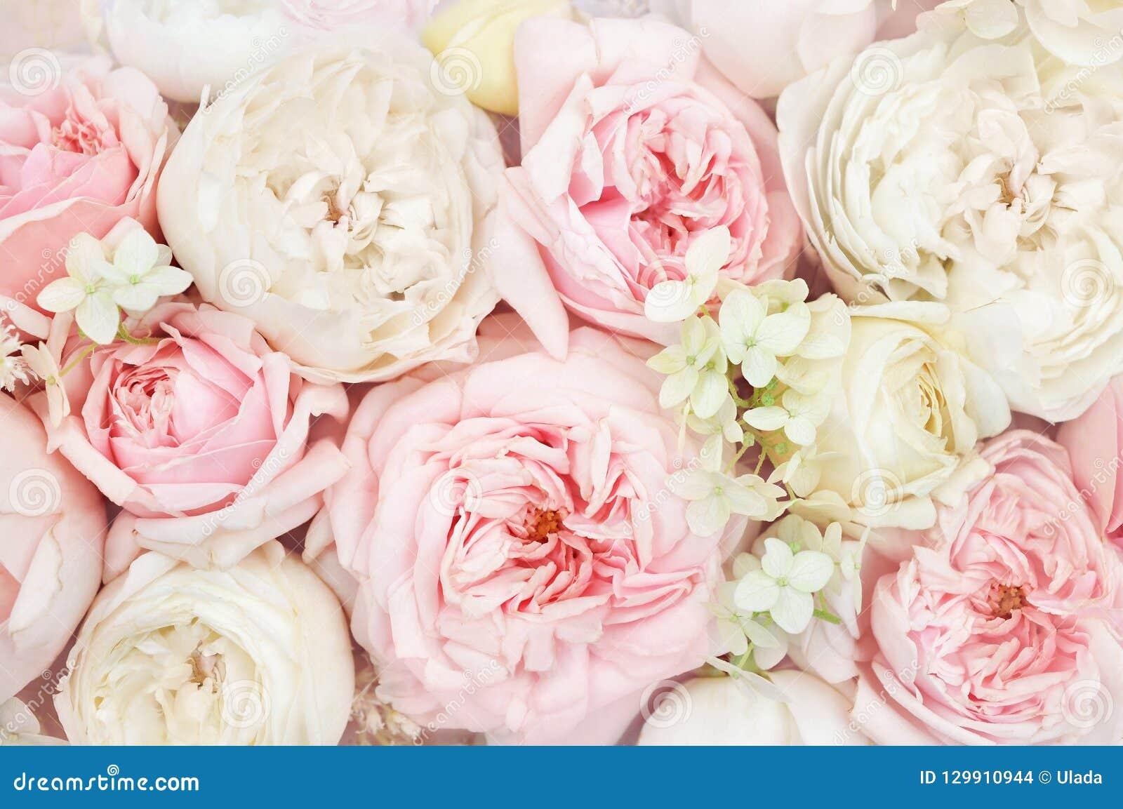 Cartão floral festivo de florescência delicado de florescência do fundo das flores das rosas do verão, o pastel e o macio do rama