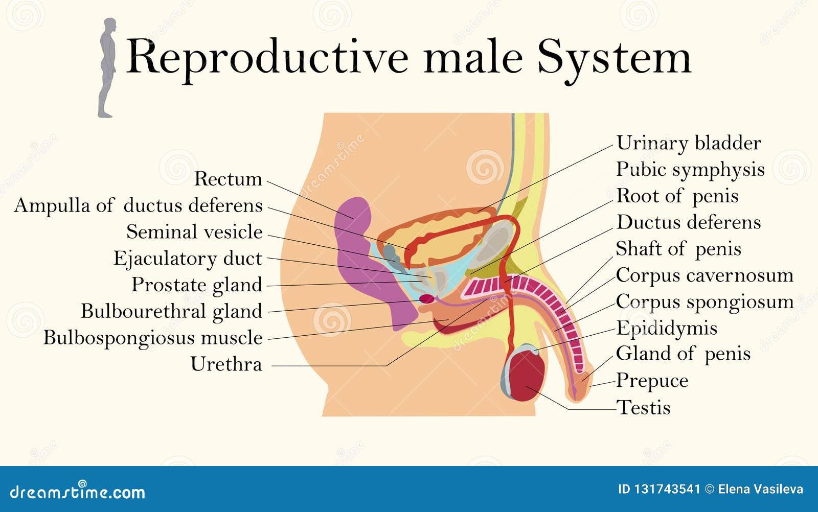 Carta da educação da biologia para o diagrama de sistema reprodutivo masculino