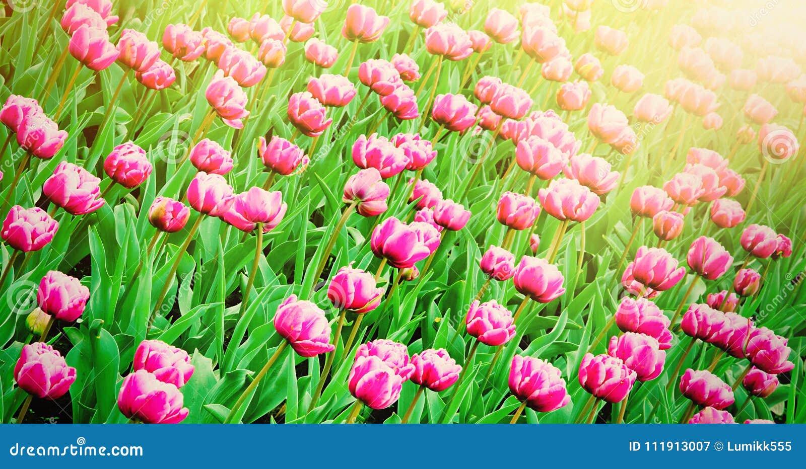 Carta Da Parati Fiori Rosa : Carta da parati della natura della primavera dei fiori rosa dei