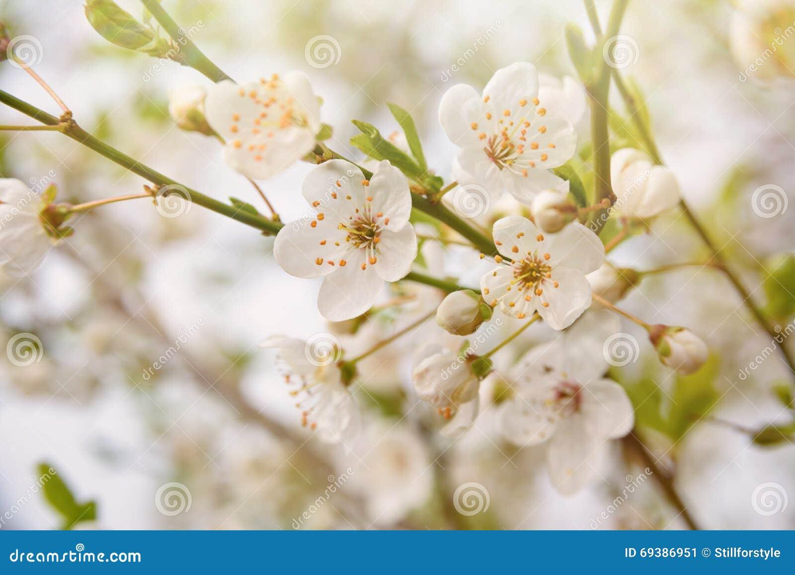 Carta da parati di fioritura dell 39 albero della primavera for Carta da parati con fiori