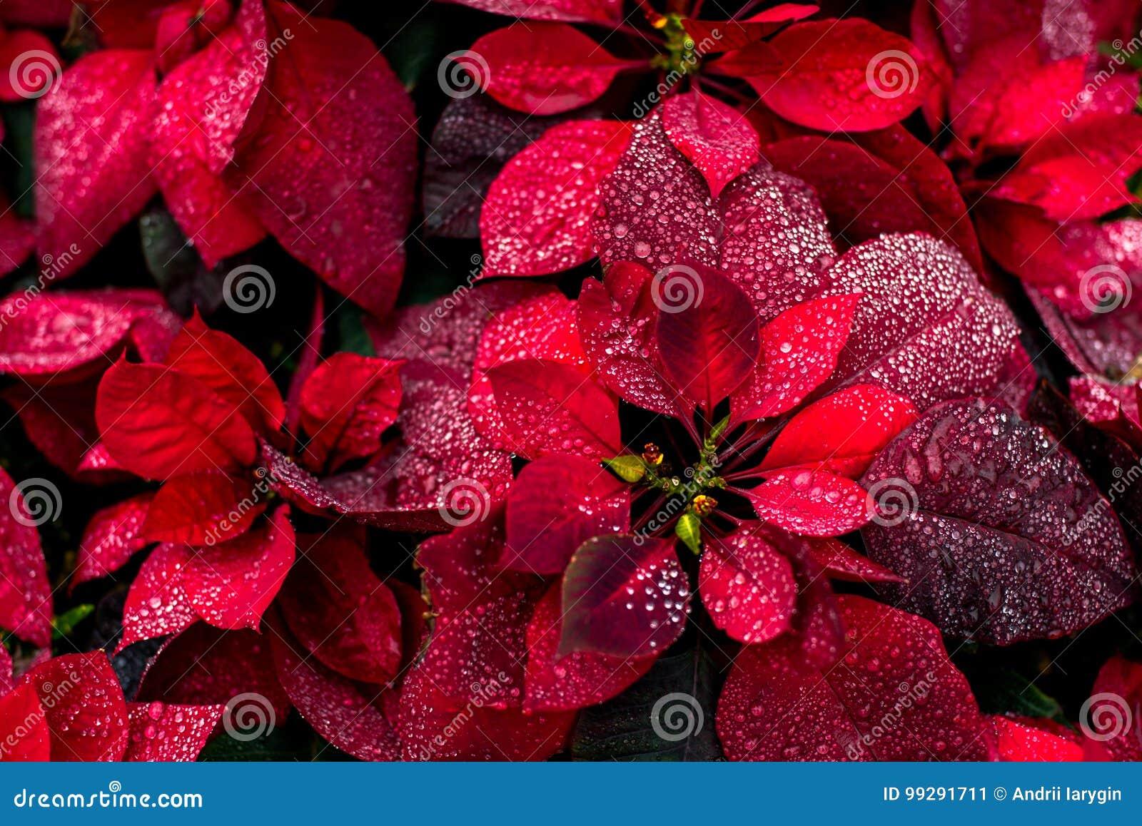 Carta da parati poinsety di natale del fiore luminoso del fondo