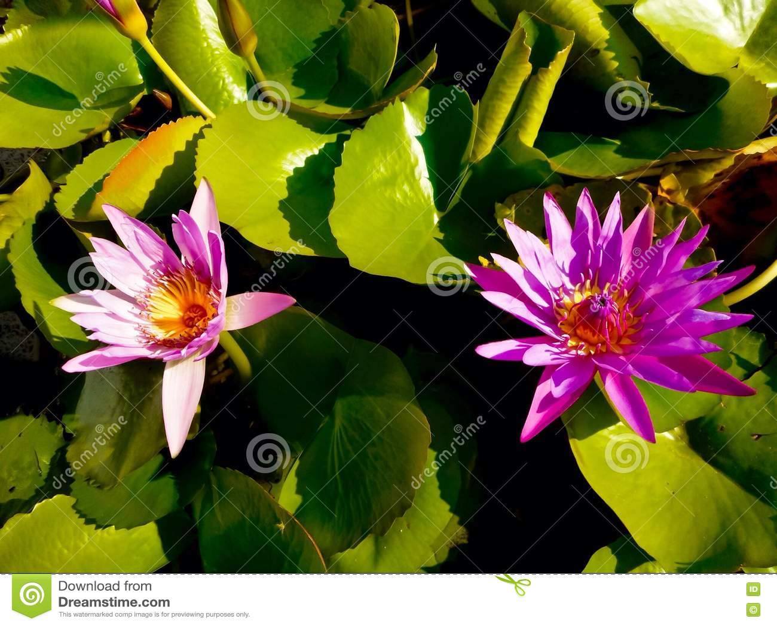 Carta Da Parati Fiori Di Loto : Carta da parati rosa del loto immagine stock immagine di flora