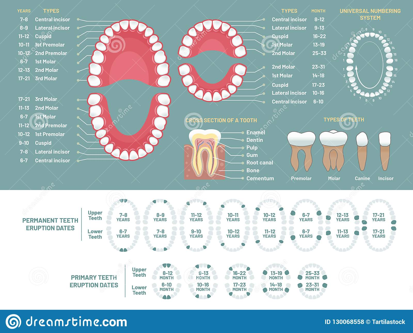 Carta de la anatomía del diente Diagrama humano de la pérdida de los dientes del Orthodontist, esquema dental y vector médico de