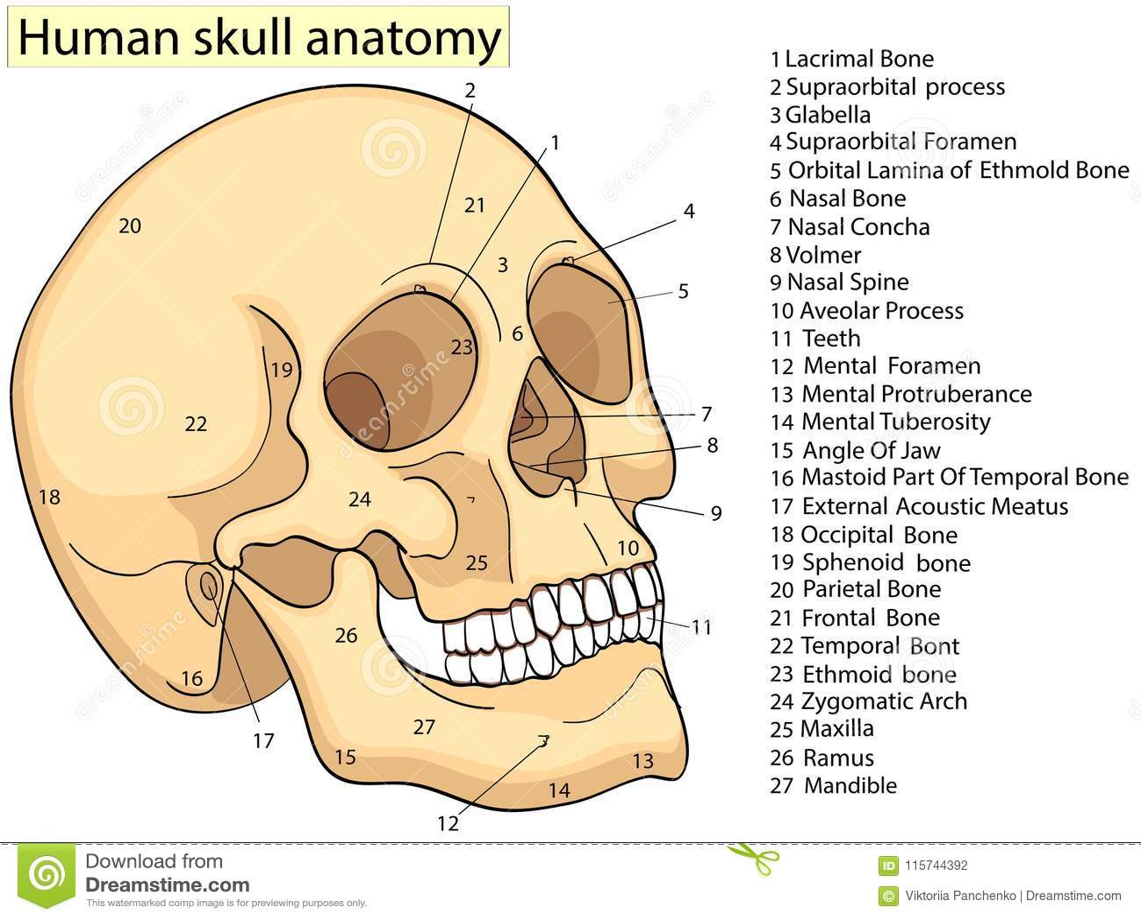 Atractivo Diagrama De La Estructura ósea Componente - Anatomía de ...