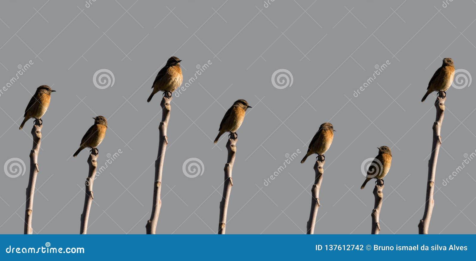 Cartaxo-Comum veelvoudige schoten van Saxicolarubicola van dezelfde vogel