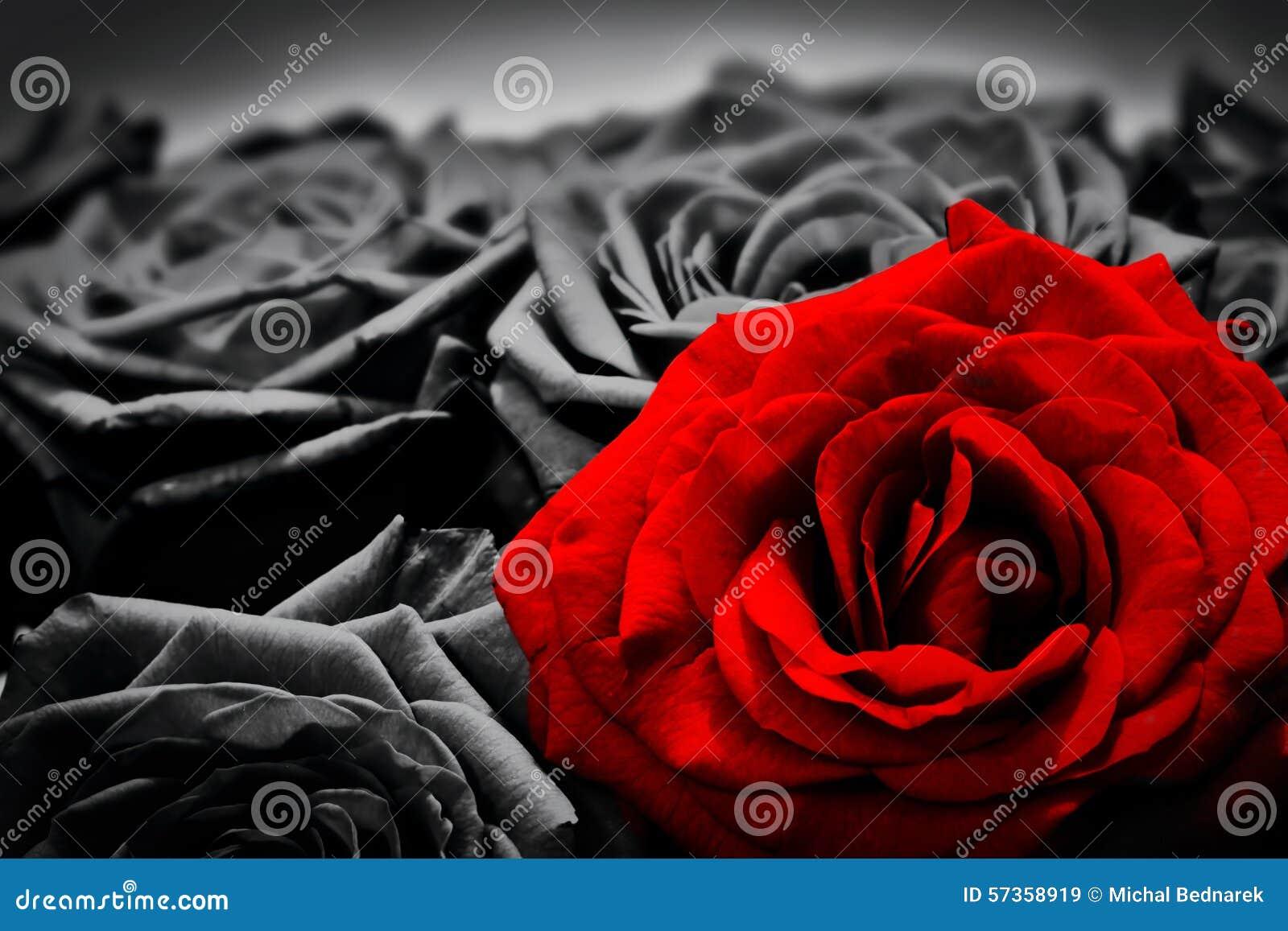 Carte de voeux romantique de rose rouge contre les roses noires et blanches