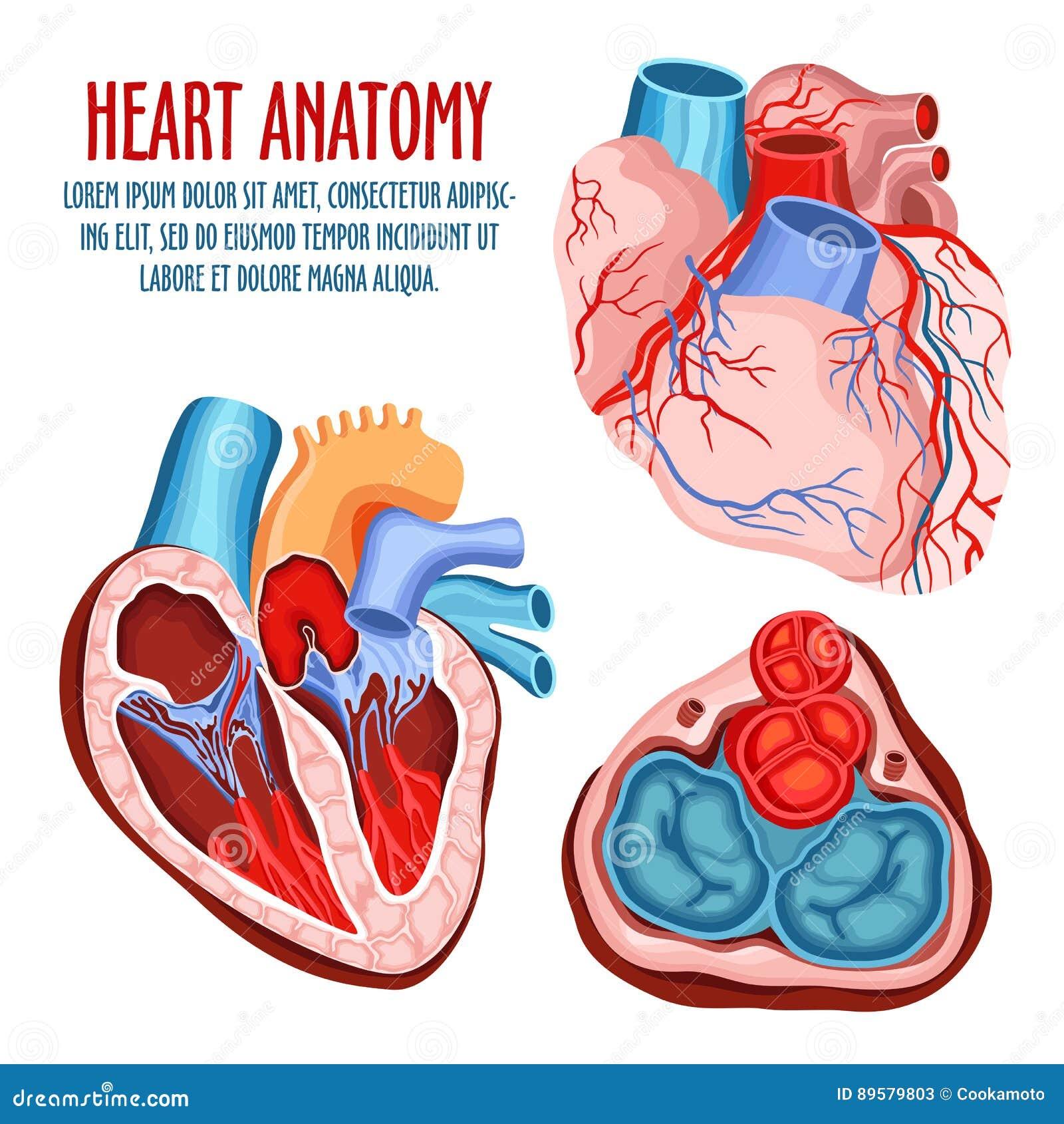 Cartel De La Estructura, Médico Y De La Anatomía Del Corazón ...