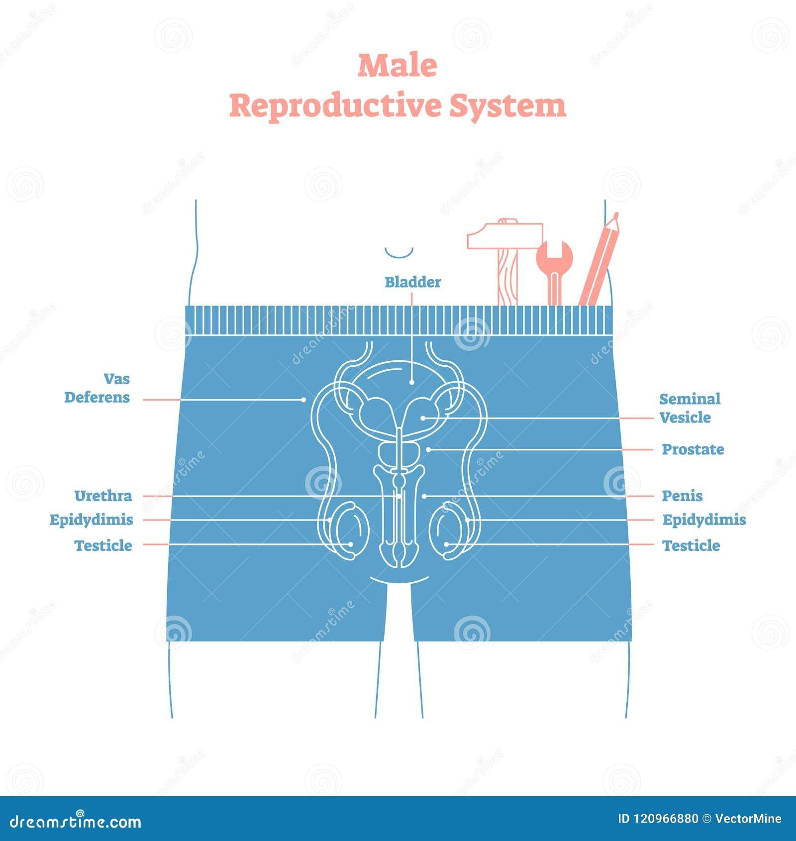 Cartel educativo del ejemplo del vector del sistema reproductivo de varón del estilo artístico Salud y diagrama etiquetado medici