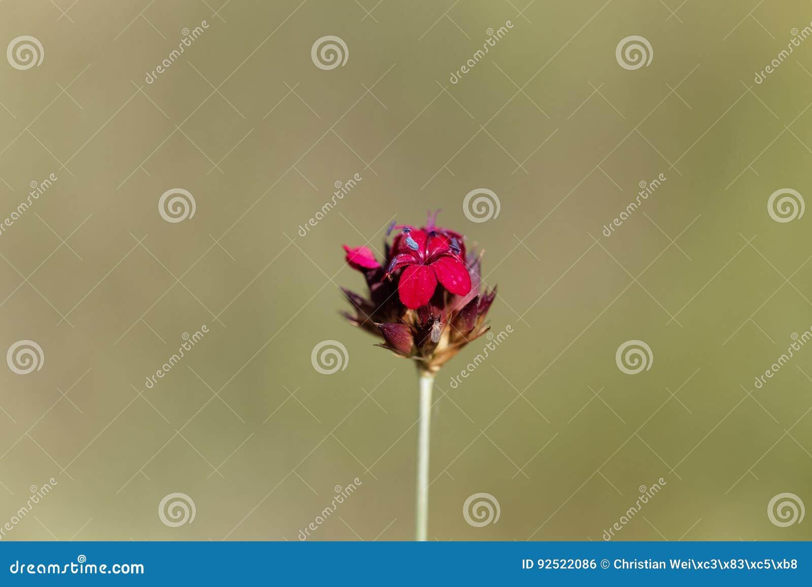 Carthusian Pink Dianthus sanguineus or Dianthus carthusianorum subsp. sanguineus