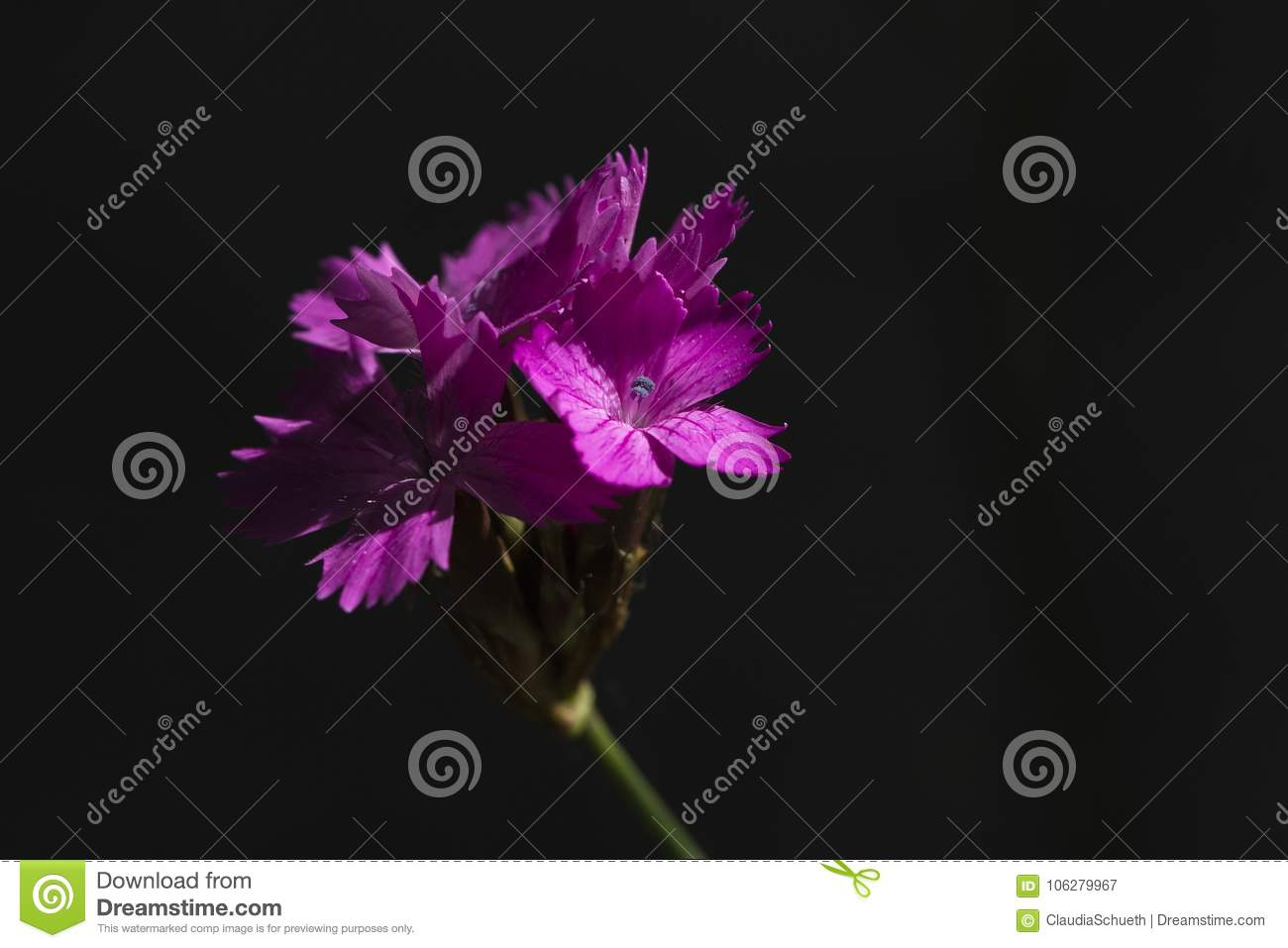 Carthusian pink in the shadow Dianthus carthusianorum